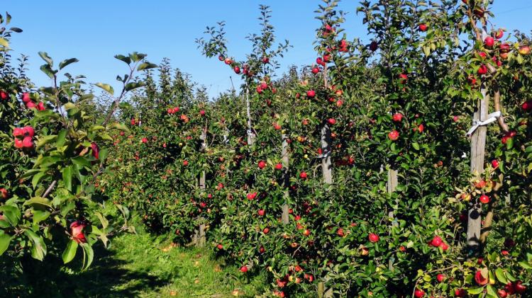 Äpfel selber pflücken auf dem Herzapfelhof - Ausflug ins Alte Land bei Hamburg