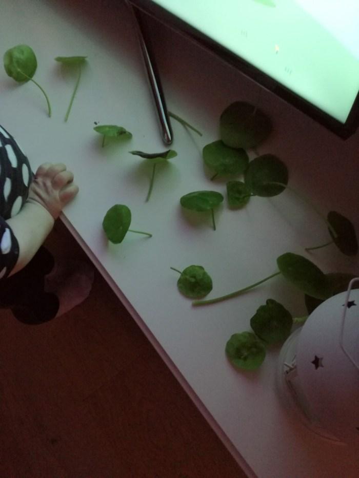 mijn pannekoekplant kaal