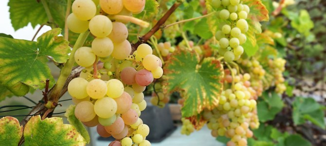 Druiven stekken
