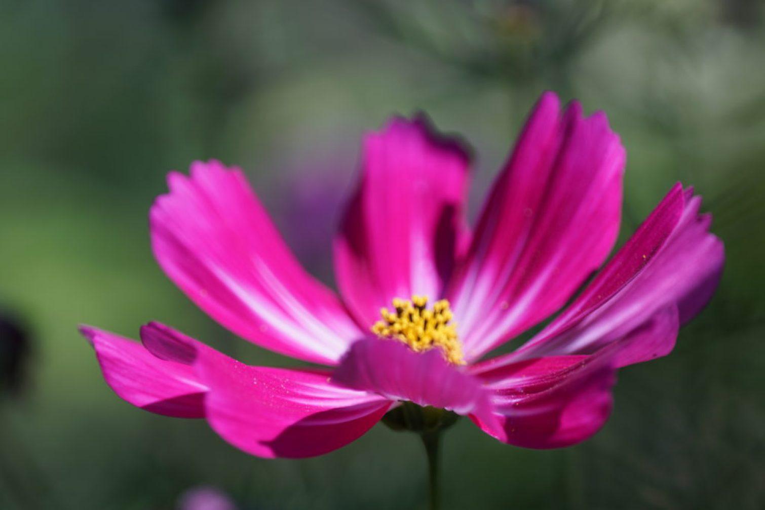 Cosmos bipinnatus Picotee