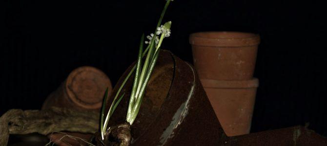 Zin in voorjaar: Muscari botryoides 'Album'