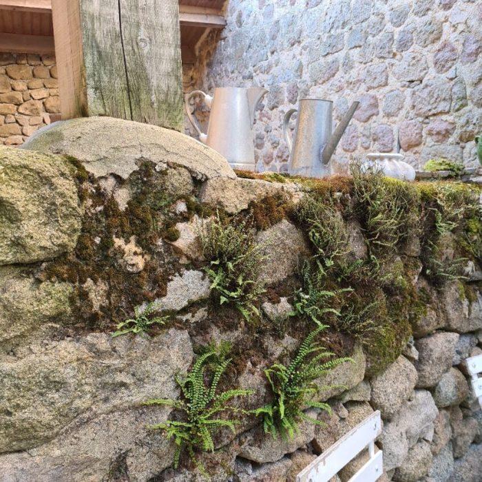 varens uit een stenen muur bij Les Martes