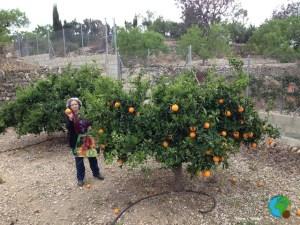 2- 3 - Recollint taronges a l'hort 2-imp