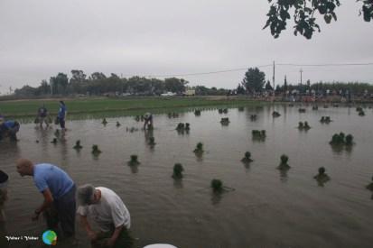 Arrancada de l'arros - Poble Nou del Delta - 08 juny 2014 e3-imp