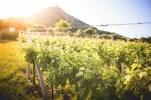 Sunny Vineyard in Summer
