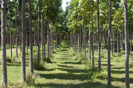 Wai Koa Plantation Mahogany Trees