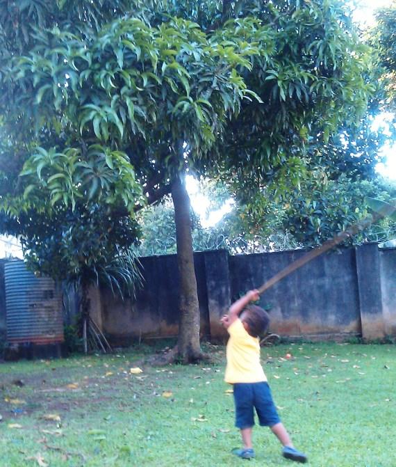 knocking mangos