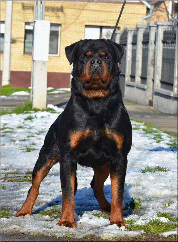 Puppies Sale   Rottweilers
