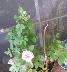 I could never grow roses until now.