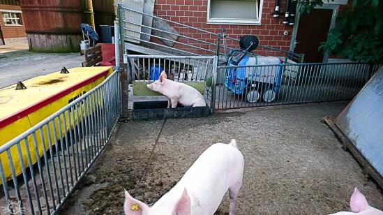 Auf dem Rückweg sagen wir den Schweinen hallo