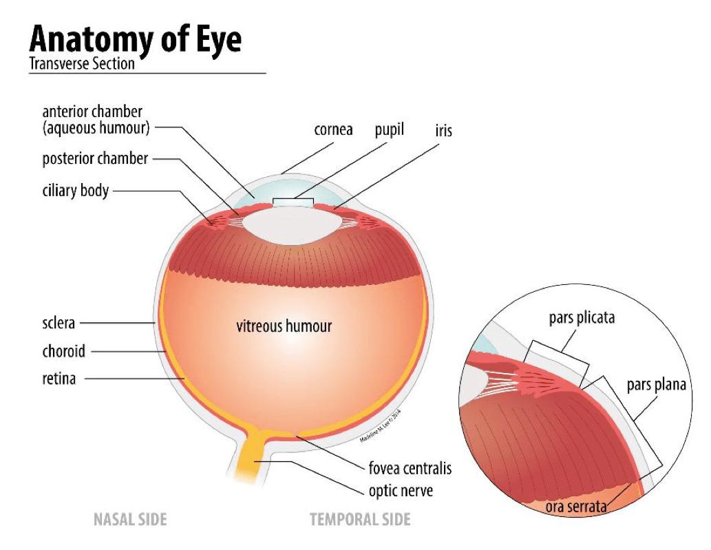 Anatomy of Eye - Voronoi Visuals