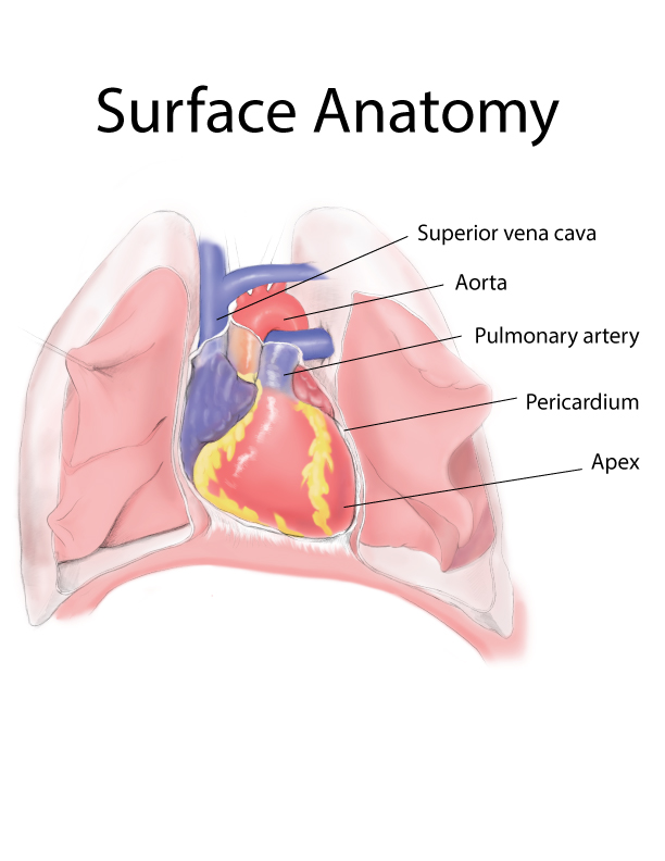 Surface Anatomy of Heart - Voronoi Visuals