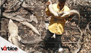 Rescatan 34 cocodrilos en rancho de Chiapas; los sacrificaban para comercializar su sangre