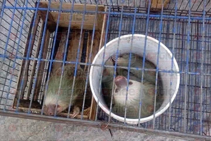 Rescate de perezosos destapa contrabando de especies amenazadas