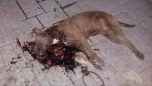 Matan a Pitbull que casi acaba con la vida de una niña