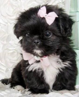 Black Pomeranian Puppy For Sale Near Me : black, pomeranian, puppy, Teacup, Pomeranian, Puppies, Craigslist