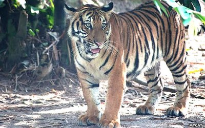 Sambar deer recovery integral to saving our tigers