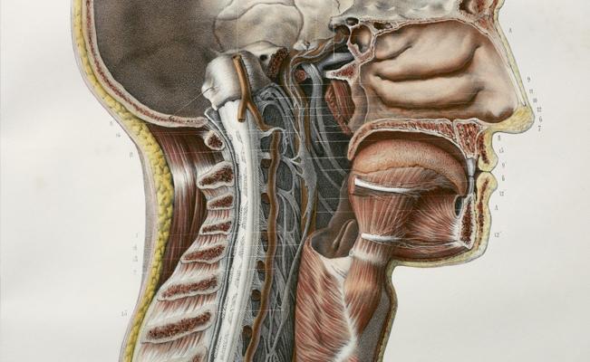 Posible nuevo órgano en la garganta humana — Descubrimiento