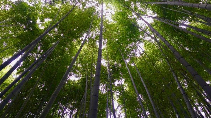 """【鎌倉観光】《竹林》抹茶を楽しめる!竹林が美しい""""報国寺""""の竹の庭!アクセスは?"""