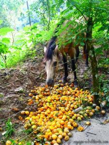 Y a tellement de mangues dans ce pays, que ce sont les chevaux qui mangent l'excédent !
