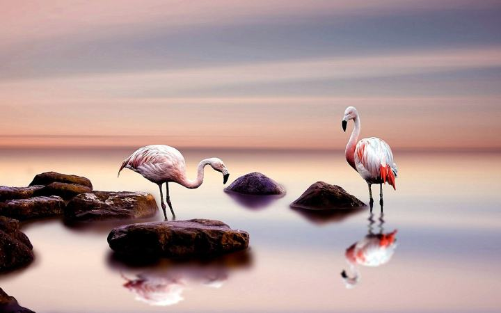 wallpaper et fond d'écran flamants rose nature