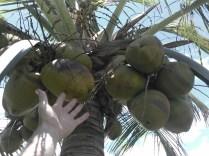 des cocos à portée de main