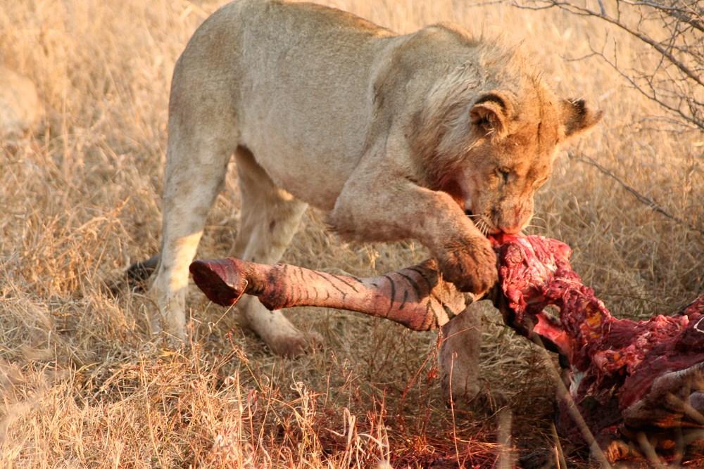 patte zebre lionne madikwe