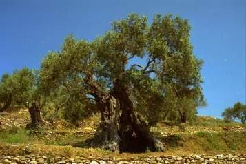 Jean-Marc Gyphjolik rend visite aux oliviers