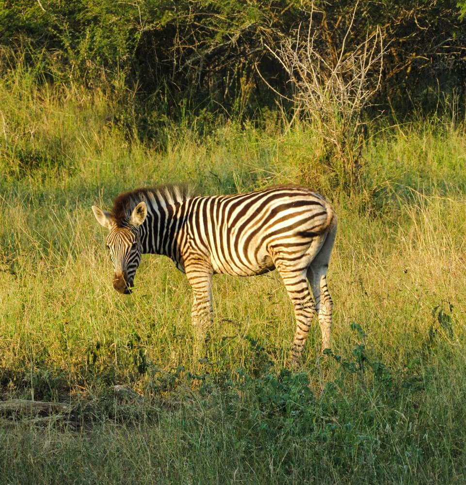 bebe-zebre-afrique-du-sud