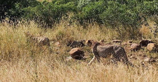 guepards-Afrique-du-Sud