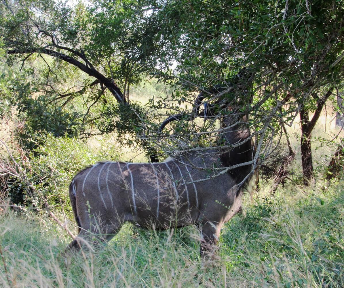koudou-male-afrique-du-sud