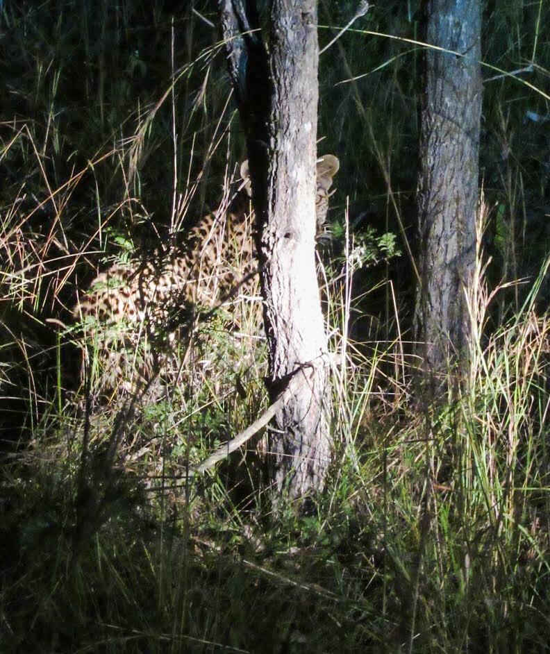 leopard-Afrique-du-Sud