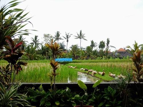 Bali pole ryzowe