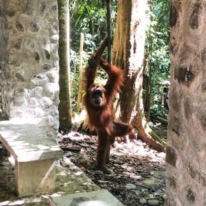 Orang-outan de la jungle de Bukit Lawang