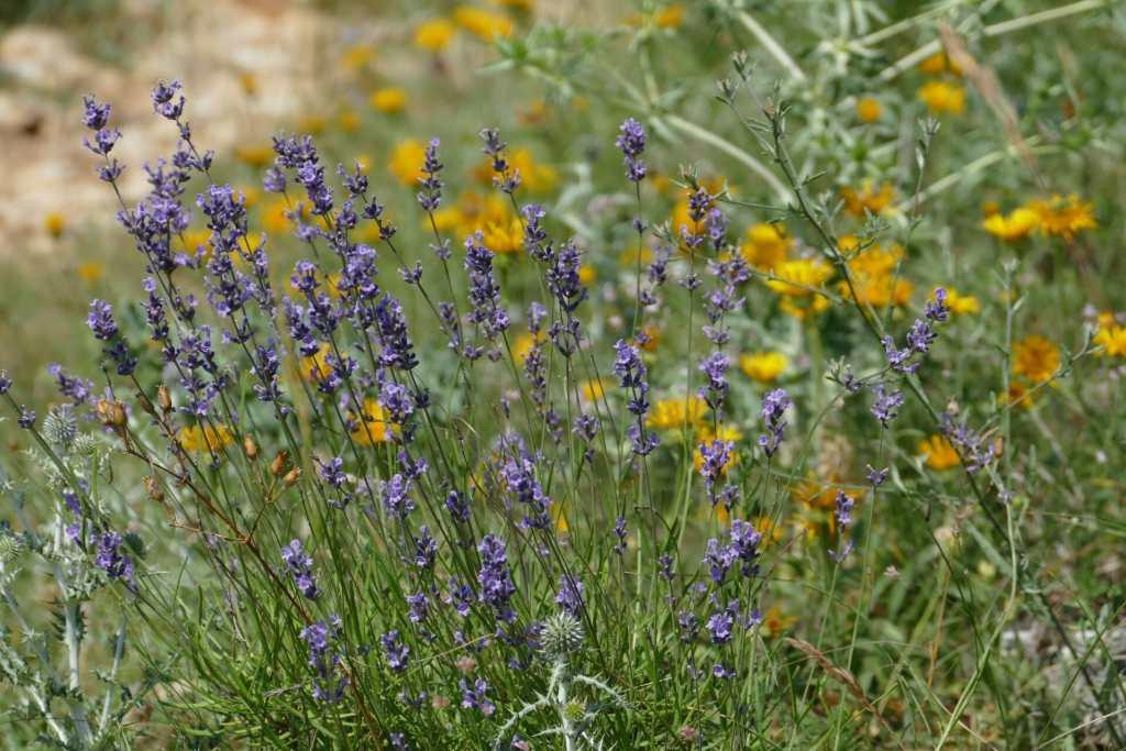 Courmes - lavendin sauvage