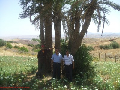 Palmiers à Harchoune (Chlef - Algérie)