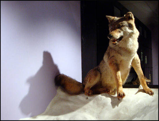 loup devout musee du loup bretagne