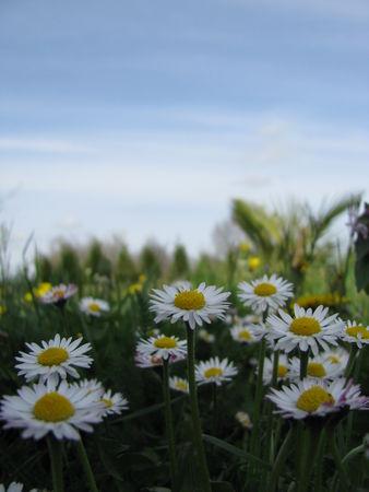 309ae 51514623 p Les fleurs printanières du Gers