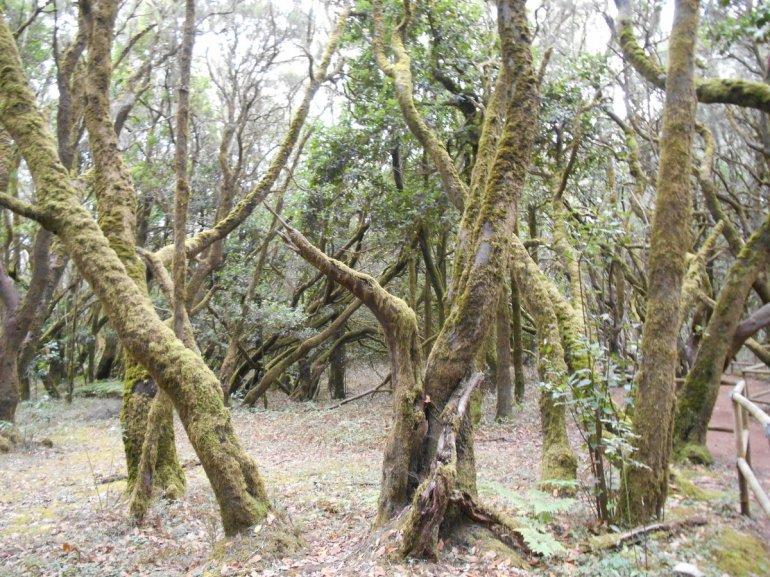 Forêt de lauriers...