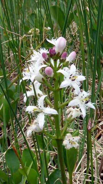 Fleurs des Alpes : Découvrir les arbres, plantes et fleurs de la flore alpine 24