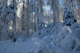 sapins neige vosges foret