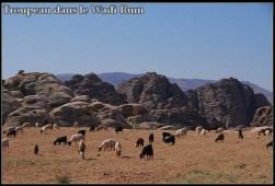 Désert Wadi Rum - troupeau