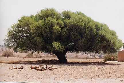 Arganier Maroc
