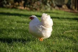 poule wyandotte blanche
