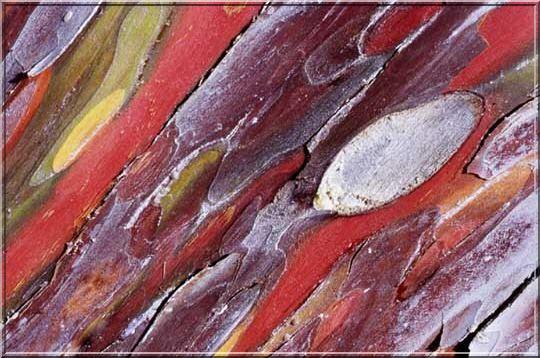 Cypres glabre cedric pollet