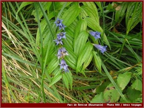 Retezat fleurs parc national roumanie