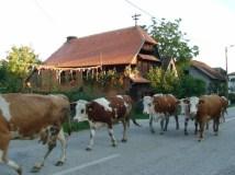 cigoc vaches