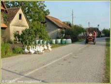 tracteur oies lonjsko polje