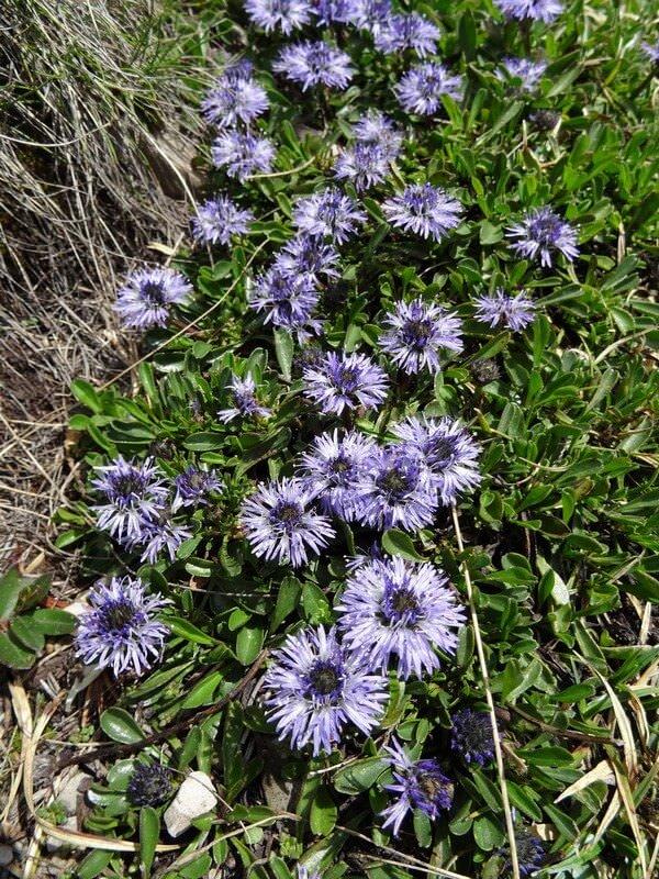 Globularia Globulaires  Kugelblumen