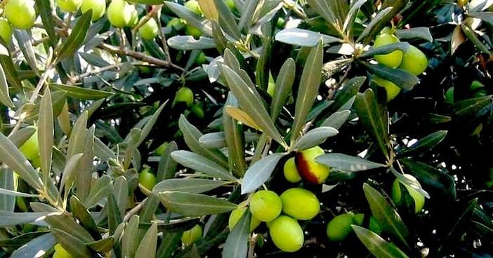 olives en croatie